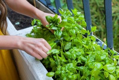 Planting_pots_basil.jpeg