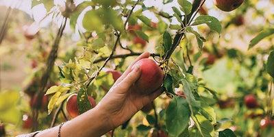 17.Picking_apples.jpeg