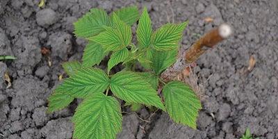 10.Raspberry_plant.jpeg