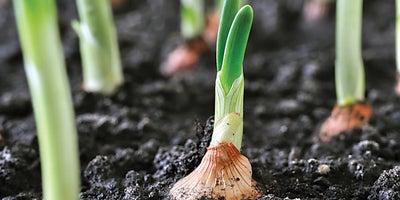 22.Planting_onions.jpeg