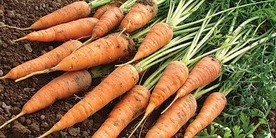 21.Planting_carrots.jpeg