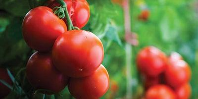 15.Tomatoe_plants.jpeg