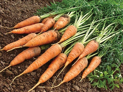 Bunch_of_freshly_picked_carrots.jpg