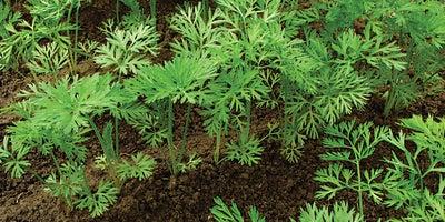 20.Planting_carrots.jpeg