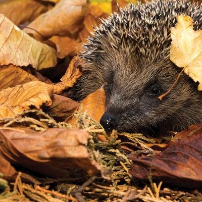 11.Hedgehog.jpeg