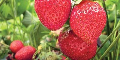 8.Strawberry_plants.jpeg